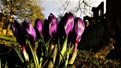 Do you suppose, that waiting hands on eyes (hope2029) Tags: crocus purple sunshine spring silhouette macro abbey leeds west yorkshire