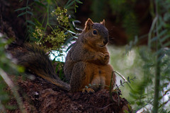 Buddha Squirrel (suzeesusie) Tags: squirrel squirrels foxsquirrel tree outdoors garden nature furry belly california losangeles cute animal wildlife