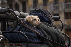 Le chien de la femme cocher (phil1496) Tags: chien calèche portrait colors streetview