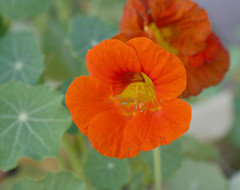 """""""We cannot live only for ourselves. A thousand fibers connect us with our fellow men; and among those fibers, as sympathetic threads, our actions run as causes, and they come back to us as effects."""" Herman Melville (wmpe2000) Tags: 2017 garden flowers nasturtium nasturtiums tropaeolum tropaeolaceae orderbrassicales orange yellow words quote quotation"""