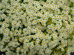 Tanacetum parthenium 'aureum' (yewchan) Tags: flower flowers garden gardening blooms blossoms nature beauty beautiful colours colors flora vibrant lovely closeup tanacetum tanacetumparthenium chrysanthemumparthenium feverfew goldenfeverfew pyrethrum pyrethrumparthenium