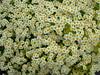 Tanacetum parthenium 'aureum' (yewchan) Tags: flower flowers garden gardening blooms blossoms nature beauty beautiful colours colors flora vibrant lovely closeup tanacetum tanacetumparthenium chrysanthemumparthenium feverfew goldenfeverfew pyrethrum pyrethrumparthenium