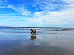 10/52 ... Walking on Clouds ... (.Lils.) Tags: 52weeksfordogs drago bluemerle bordercollie beach blue clouds