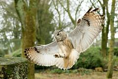 Siberian Eagle Owl ♂ Bubo bubo yenneensis (Roger Wasley) Tags: siberian eagle owl male bubo yenneensis eastern subspecies race bird prey raptor owls