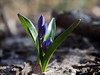 Snowdrop first flower at the sun (mironenko1990) Tags: snowdrop blue green nature background beautiful spring flower fresh sun plant bright closeup leaf color beauty macro forest petal bloom blossom elegant still siberian march squill scylla bluebell