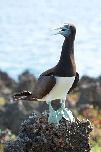 """Brown booby • <a style=""""font-size:0.8em;"""" href=""""http://www.flickr.com/photos/137365235@N06/33351362682/"""" target=""""_blank""""></noscript>View on Flickr</a>"""