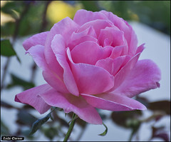 Rose at My-Garden-IZE-084 (Zachi Evenor) Tags: zachievenor israel mygarden garden gardening flower flowers 2017 ישראל גינתי גני גן גינה פרח פרחים פריחה גינון ורד ורדים שושנה שושנים rose roses rosa