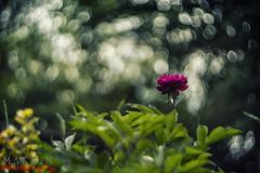 BOKHELIOS :) (Maximkaa) Tags: 2 bw white black lens bokeh sommer swirl 40 russian blume makro sonne weiss schatten garten schwarz glas mnster strudel helios sonnenschein linse schirm weis spannend bokehlicious