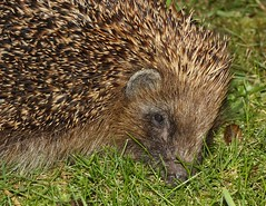 A Nighttime Visitor (Chrissie28IWish! ~ hubby passed away 5th Dec peace) Tags: brown black macro green eye grass closeup mammal nose tan ear hedgehog slug spines animalia spiny erinaceinae