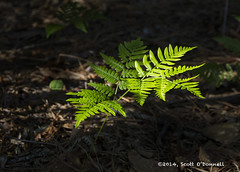 New Fern (scottnj) Tags: sunlight fern leaves spring ferns 365project 149365 scottnj scottodonnellphotography