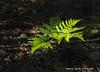 New Fern (scottnj) Tags: sunlight fern leaves spring ferns 365project 149365 scottnj scottodonnellphotography