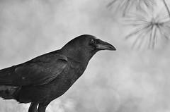 Caw, Caw (Bryan O'Toole) Tags: portrait bw ontario canada bird yard backyard nikon crow soo saultstemarie northernontario americancrow algoma nikond7000 nikonafs200400mmf4vr