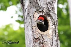 Grand Pic - Pileated Woodpecker  (serie ) (ricketdi) Tags: nest ngc npc dryocopuspileatus pileatedwoodpecker grandpic avianexcellence nidification coth5