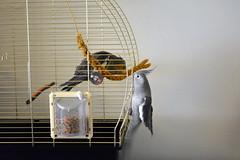 Eddie meets Wallie (livingtheeddielife) Tags: cute bird meeting cockatiel eddie encounter wallie