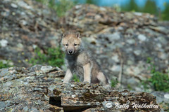 Wolf Pup (Kelly Walkotten) Tags: usa wolf montana wildanimal wolfpup
