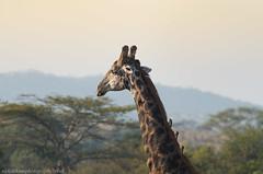 Hitching a Ride (nickjacksonphotography) Tags: africa park food elephant bird nature water beautiful animal cat monkey sleep wildlife south lion safari leopard lemur kingfisher zebra cheetah giraffe incredible hunt kruger