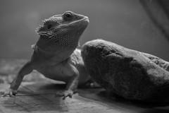 DSC_7311 (Keith Micomonaco) Tags: portrait pet white black 35mm 50mm nikon dragon lizard bearded dx d3300