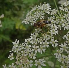 Drone (Bricheno) Tags: macro bug insect scotland escocia szkocja renfrew hoverfly schottland scozia cosse  esccia   bricheno scoia