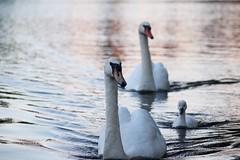 a hofvijver fairy tale (marie-ll) Tags: swan nederland denhaag hofvijver zwaan zwanen ahofvijverfairytale