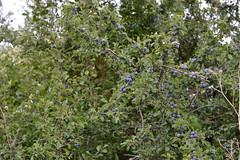 Prunus spinosa (esta_ahi) Tags: barcelona espaa spain flora frutos prunus peneds prunusspinosa fruto rosaceae silvestres arbusto spinosa bellestar endrino  santamargaridaielsmonjos aranyoner