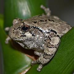 Cope's gray tree frog (The Julia) Tags: frog treefrog copesgraytreefrog