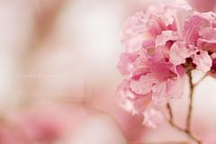 (Daniela Romanesi) Tags: pink flowers flores nature brasil leaf petals natural sopaulo rosa ip delicate julho suave galho 485 delicado ptala braganapaulista suavidade 8672 tabebuiaimpetiginosa tabebuias planart1485 handroanthusheptaphyllus piva planart1 485za planart1485za zeissphk14