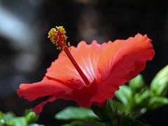 FLAMENCO (kenny barker) Tags: summer spain hibiscus mallorca flamenco kennybarker