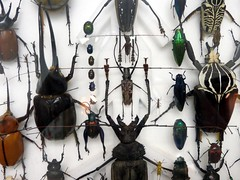 Taxidermy Beetles (McLevn) Tags: santa new color glass museum bug insect indonesia mexico spider big cool interesting wings colorful pin legs display spiders framed beetle wing moth large insects pins bugs taxidermy clear size needle gross moths fe needles beetles shape winged antennae pinned