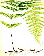 Anglų lietuvių žodynas. Žodis golden fern reiškia aukso paparčio lietuviškai.