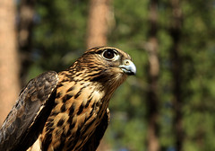 Merlin (Jon David Nelson) Tags: nature ecology birds oregon wildlife hunting conservation naturalhistory research raptor highdesert merlin captive biology lead birdwatching falcons raptors birdsofprey falconry falco leadpoisoning easternoregon falcocolumbarius columbarius