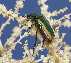 Junebug in July (charles25001) Tags: macro nature bug insect junebug beattle