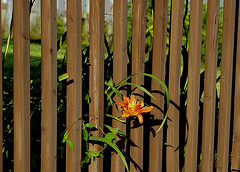 0008164 (To all that visit, Thank you) Tags: canada flower sunshine fence lily nb ©allrightsreserved nbphoto