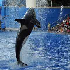 Shamu - One Ocean (littlestschnauzer) Tags: show summer usa white black water pool mammal high orlando jump florida stadium performance killer whale whales orca seaworld leap shamu orcas 2014