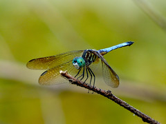 Blue Dasher (Pachydiplax longipennis) (WRFred) Tags: nature dragonfly maryland montgomerycounty