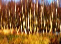 (redglobe*) Tags: tree nature natur bäume münster birke rieselfelder