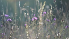 Early Morning Meadow (brown.thalia) Tags: morning light bokeh meadow wildflower knapweed quakinggrass fairyswand