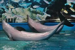 Zoo de Barcelona (Mantrize) Tags: barcelona california sea elephant zoo gris dolphin african lion leon dolphins zoológico giraffe chimpanzee delfin dauphin dolphinarium delphinarium delfinarium dolfinarium marino dolfijn drill californian elefante delphine delfines africano zoologic chimpance delfini delfine delfín delfinario rotschild delfiner dolfijnen dofi mangabey delfinis delfinarien