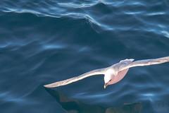 svalbard express 130 (GLRPhotography) Tags: landscape gull 150 svalbard arctic 600 tamron spitsbergen glaucous 150600 150600mm tamron150600mm