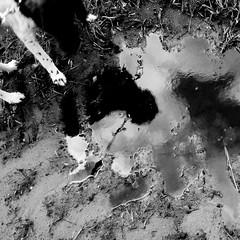 walk the dog I (joe.laut) Tags: bw dog blackwhite august rico sw schwarzweiss miniseries 2014 norby incoloro auntielu joelaut