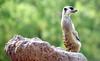 Meerkat (floridapfe) Tags: animal zoo meerkat nikon korea everland d810