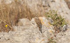 Pipit rousseline- Tawny pipit- Anthus campestris (Morgan Boch) Tags: france de roc nikon migration gruissan tawnypipit anthuscampestris d300s pipitrousseline conilhac morganboch