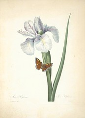 Anglų lietuvių žodynas. Žodis xiphium iris reiškia <li>Xiphium iris</li> lietuviškai.