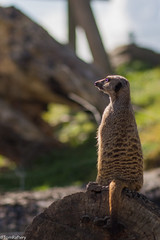 Basking (Tom Raftery) Tags: meerkat suricatasuricatta fota fotawildlifepark