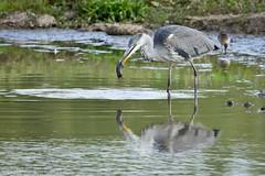 Heron 005 (Steve Birt) Tags: heron canon grey bank gloucestershire 300mm ardea 7d wetlands vole f28 slimbridge wildfowl cinerea