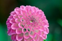 Delightfully Pink. (Omygodtom) Tags: park pink dahlia portrait flower macro green art texture nature oregon season nikon dof bokeh explorer exotic existinglight pdx tamron90mm naturelovers simpleflowers d7000
