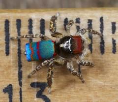 _X8A6360 peacock spider Maratus caeruleus (Jurgen Otto) Tags: