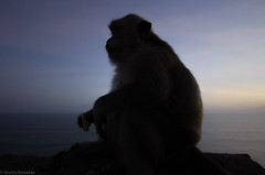 monkey of the temple