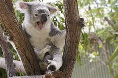 Koala bear / Paradise Country / Gold Coast / Australia (haphopper) Tags: tree nature animal zoo australia koala qld queensland outback aussie themepark goldcoast koalabear ool paradisecountry