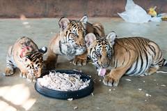 Tiger Temple Thailand (denis.senkov) Tags: trip travel animal thailand nikon tiger tigers tigertemple kanchanabury     nikond800