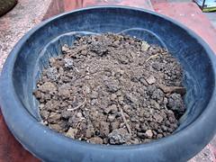 Mix de Jabuticaba Goiaba Mixirica (8) (jemaambiental) Tags: mamadeira jabuticaba bonsais goiaba mixirica prbonsais bonsastas preparaodebonsais mixdeespcies
